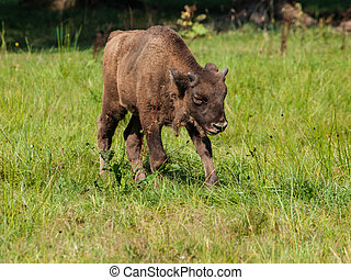 Young european wood bison in Bialowieza primeval forest -...