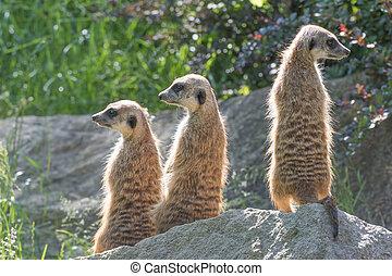 Meerkats, posierend, dreieinigkeit, gestein