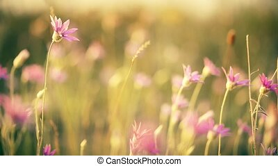 Beautiful meadow pink flowers on sunny background. Summer theme background