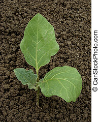 egg-plant seedling - young egg-plant seedling on the...