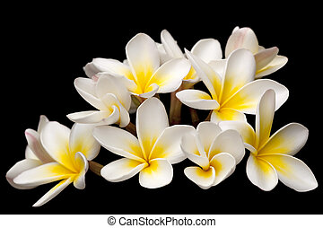Plumeria or frangipani flowers, over black background.