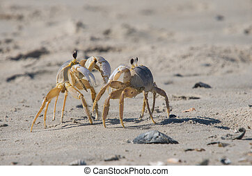 Atlantic Ghost Crab - Two Ghost Crabs facing each other