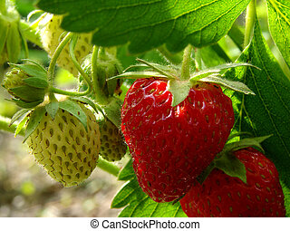 strawberries - ripening strawberry fruits on the branch...