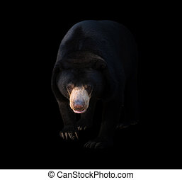 malayan sun bear  in dark background, lowkey