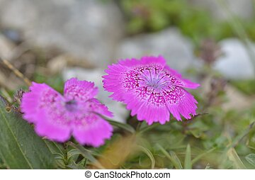 Endemic pink flower found only in Piatra Craiului mountains...
