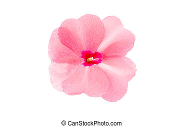 balsam flower on a white background
