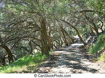 Olive trees in Corfu island, Greece