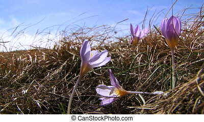 Beautiful Crocus