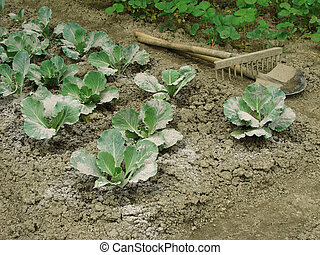 cabbage vegetable bed - young cabbages sprinkled with ashes...