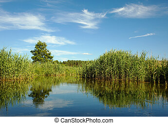 Wild, dense reeds on the lake in summer - Corridors water...