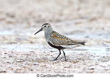 Dunlin Calidris alpina - Dunlin standing in sand in its...