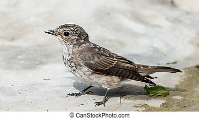 Spotted flycatcher - A closeup of the juvenile spotted...
