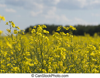 Canola plants in farm field during summer