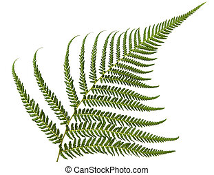 Fern - Fresh fern frond, isolated over white.