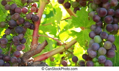 Wine grape frameing shot two - Frame of natural wine grapes...