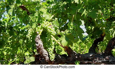 Green wine grapes in the sun two