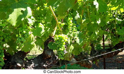 Green Wine grapes in the sun - California Napa Valley Green...