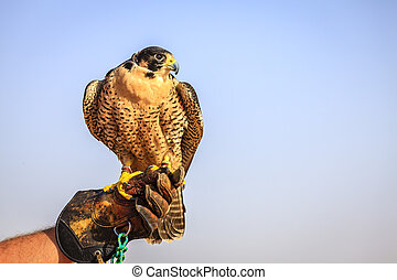 Peregrine Falcon - Portrait of Peregrine Falcon on a...
