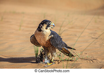 Peregrine Falcon with its prey in a desert near Dubai, UAE