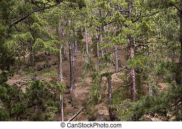 Green prickly branches of a fur-tree or pine. Tenerife,...