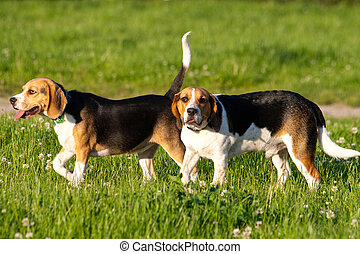 Beagle dogs - Happy beagle dogs in a park
