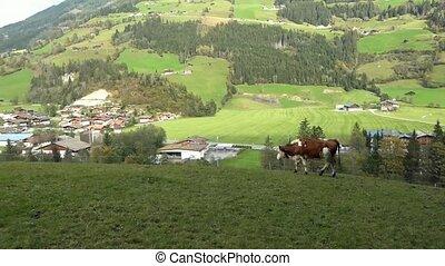 Cows graze on green meadows