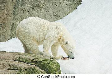 bear eating a fish - cute polar bear eating a fish on snow