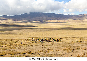 Maasai herding cattle in Ngorongoro - Masai herdsmen and...