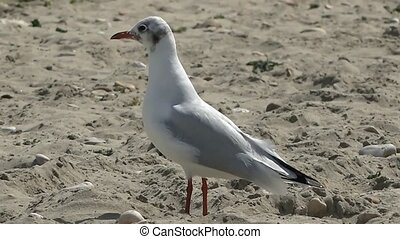 Seagull on the sandy beaches of the Mediterranean. Seagull close-up on a sandy beach