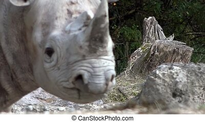 Rhinoceros in the zoo.