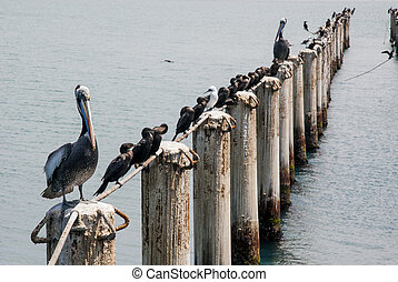 Cormorants in Cruise Port General San Martin Pisco - Peru -...