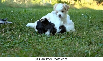 Two puppies playing on grass.