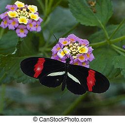 Tragic Longwing Butterfly - Macro fo tragic longwing...