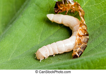 Worm shedding skin - Mealworm or worm reborn after shedding...