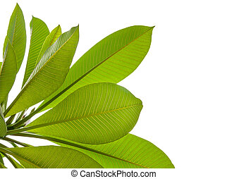 Plumeria leaves isolated on white background with clipping path