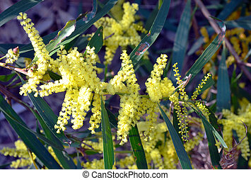 Sydney Golden Wattle - Yellow flowers of the Sydney Golden...