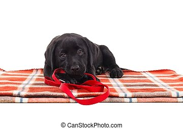 Black labrador puppy - Adorable black retriever puppy...