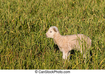 isolated newborn lamb on meadow - closeup of isolated...
