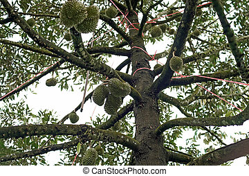 durian fruit on tree - young durian fruit on tree in organic...