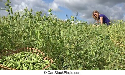 wicker basket with green pea and blurred woman gather pea pod. 4K