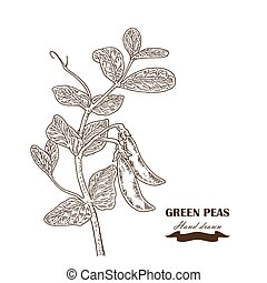 Hand drawn peas plant Vector illustration in sketch style