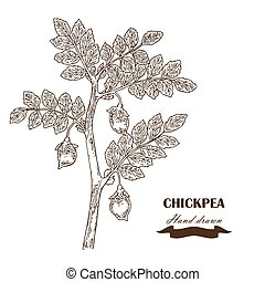 Hand drawn chickpea plant. Vector illustration