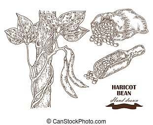 Hand drawn haricot bean collection. Vector illustration in...
