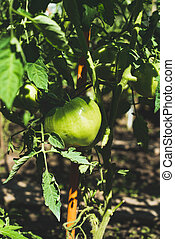 Green unripe tomato on branch in vegetable garden, vertical...