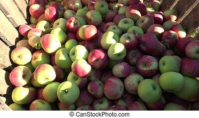 red apple fruit harvest in wooden box at autumn garden. 4K