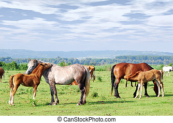 horses and foals on pasture