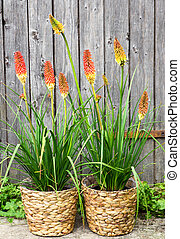 Kniphofia or Red Hot Poker Pants - Kniphofia or Red Hot...