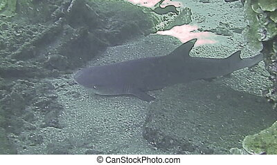 White tip reef shark resting on sea bed
