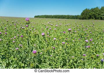 Large plantation of Milk thistle - Large plantation of...