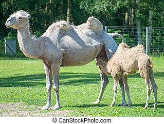 Two camels in national park.
